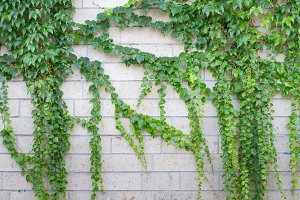 Ivy on old wall