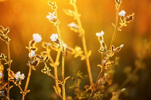 Meadow white flowers bright sunset