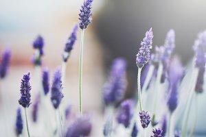 autumn vintage lilac flowers