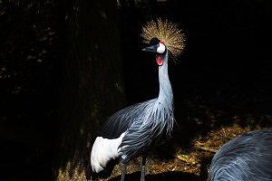 Grey crowned crane in nature.