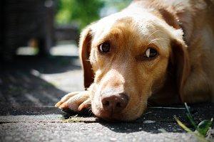 A dog with a sad look.
