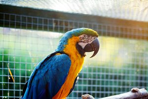 Yellow-blue parrot macaw close-up.