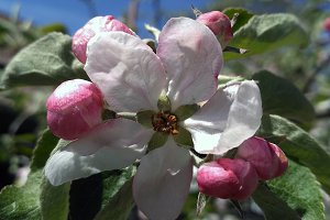 Blossoming apple tree flower