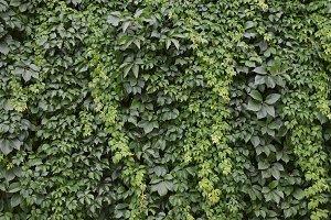 Green Ivy Vine