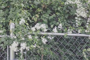 Honeysuckle vine growing on fence