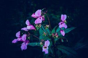 Pink Dark Flower