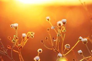 meadow chamomiles in sunset in field