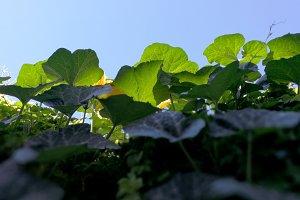 Leaves of a pumpkin bush