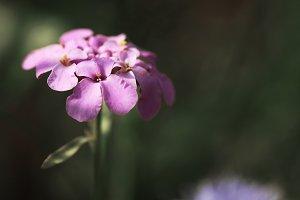 tender sweet ping flower