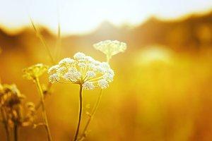 white soft big meadow flower