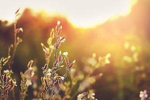 meadow wild white flowers