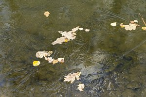 Fallen leaves on thin ice on a pond