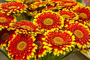 Red-yellow gerberas.