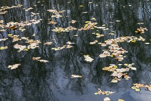 Fallen leaves on the pond