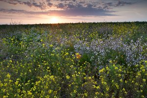 Field of Flowers at Sunset