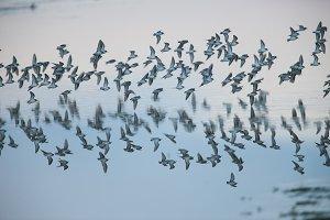 Shorebirds over Water