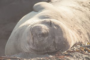 Elephant Seal Nap