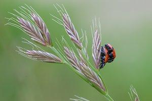 Ladybugs and Grass