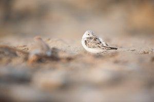 Shorebird on the Beach