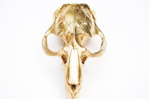 Gold Painted Animal Skull on White