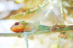 Chameleon in the Sunlight