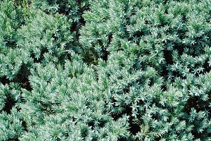 Evergreen Full Frame Texture