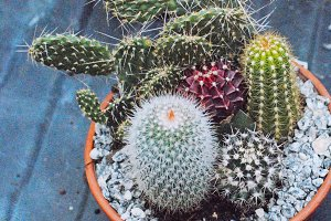 Pot of Mixed Cacti
