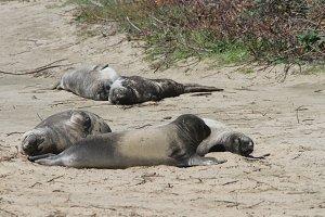 Elephant Seals In Ano Nuevo