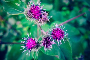 Arctium/Burdock Flower Blooming