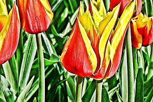 Abstract Pointed Tulips Red Yellow