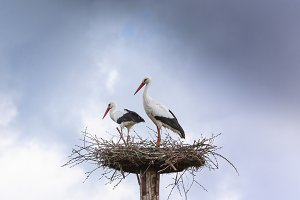 Pair white stork preparing nest