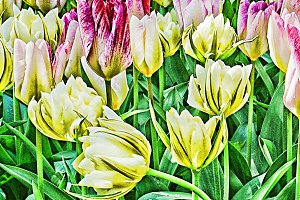 Abstract Tulips in a field
