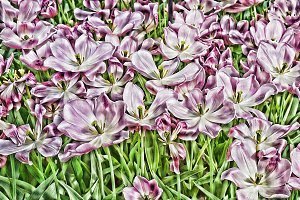 Pink Fantasy of Tulips in Spring