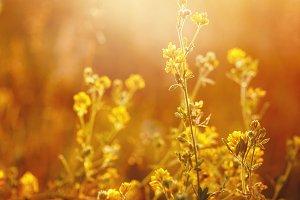 meadow yellow flowers