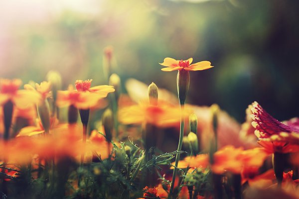 Abstract Stock Photos: Nature photos - orange flowers in garden flowerbed. Vintage nature outdoor autumn photo