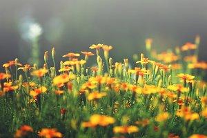orange flowers in garden flowerbed. Vintage nature outdoor autumn photo