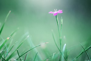 pink meadow wild flower on green grass natural background in field. Outdoor autumn photo