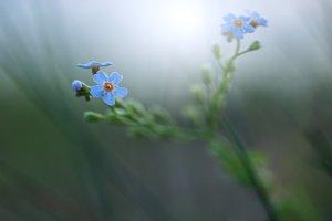blue little soft meadow wild flower on green dark background in field in evening. Outdoor natural autumn photo