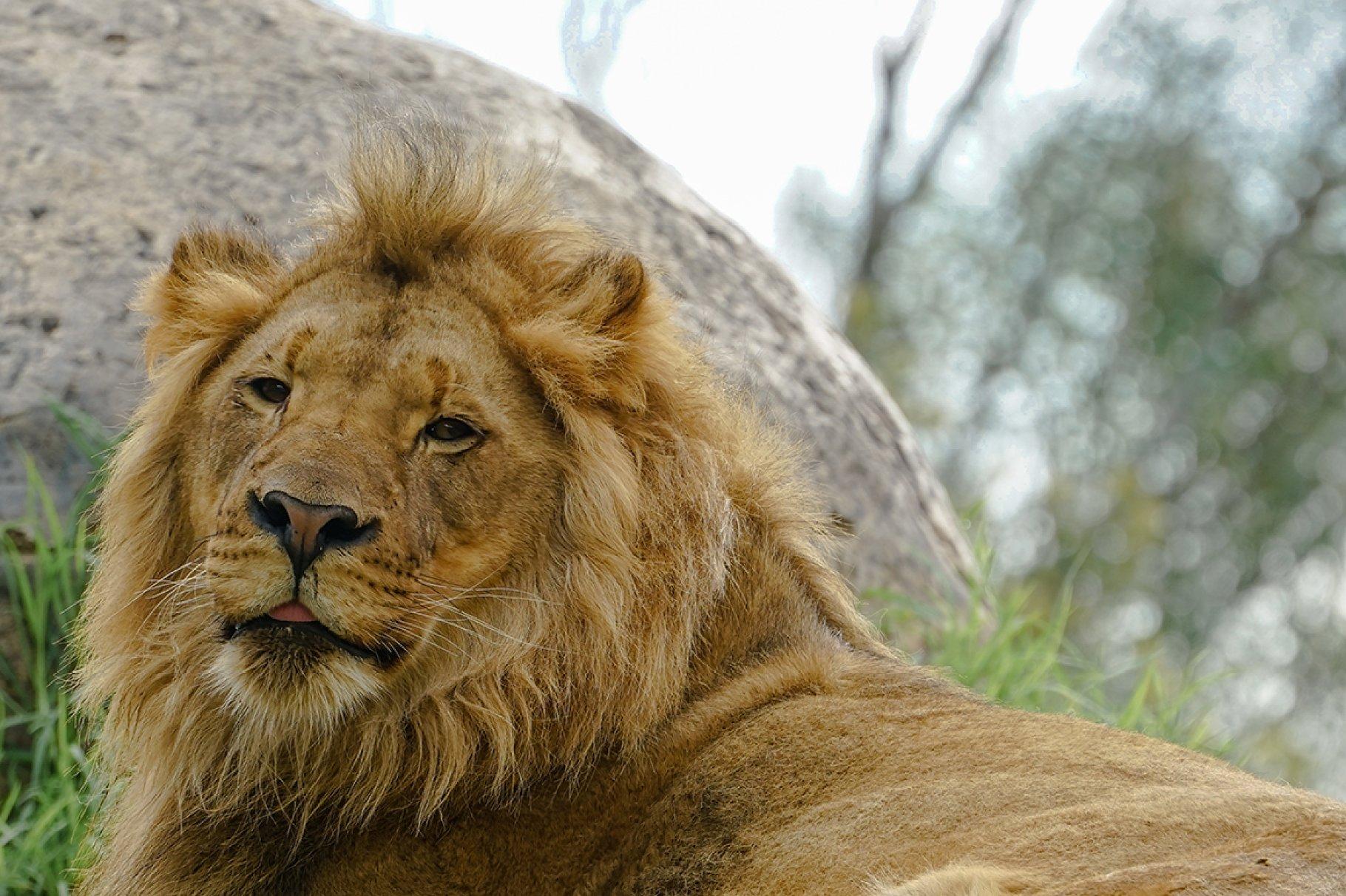 San Diego Zoo Safari Park Lion Animal Photos Creative Market