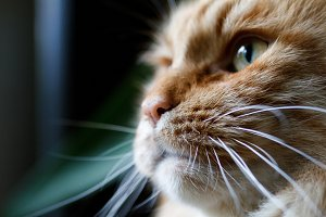 Portrait of a ginger cat in profile.