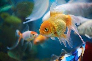 Gold fish swimming in blue aquarium