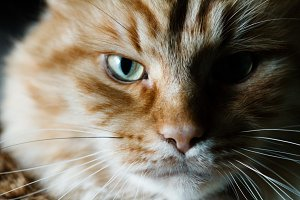 Portrait of a red cat.