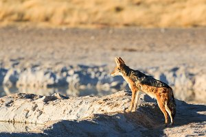 Black backed jackal observe water hole
