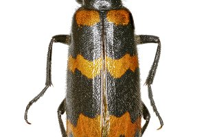 Yellow Meloid Beetle