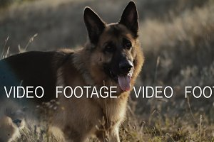 A German Shepherd dog briefly stops while playing and running