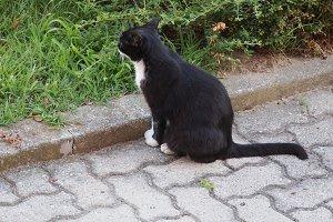 black and white domestic cat