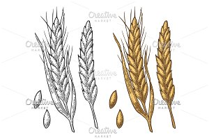 Wheat ears Vintage vector engraving