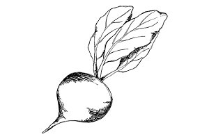 Sugar beet sketch line art vector