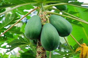Green papaya fruits on a tree