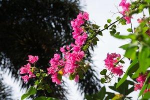 Fresh Pink Bougainvillea On Blue Sky
